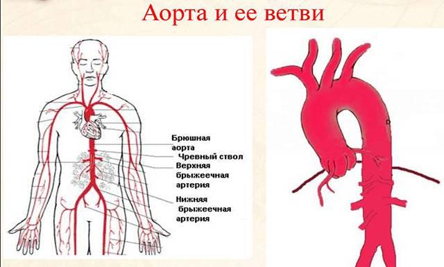 Строение аорты